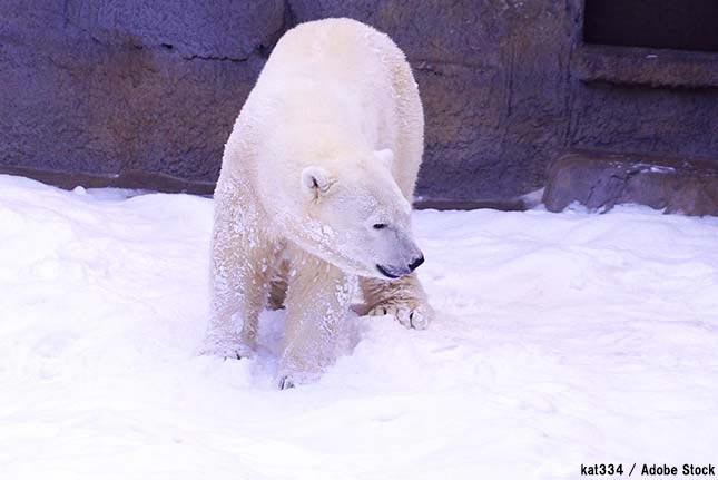 ホッキョクグマがロシアで村を襲撃!凶暴化した原因は地球温暖化か
