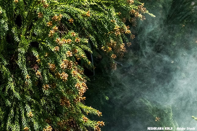 花粉量が毎年増えるのは気のせい?日本にスギが多い原因は何なのか