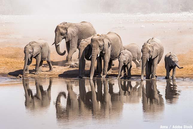 象牙は何に使われる?アフリカゾウ現象の原因【絶滅動物シリーズ】