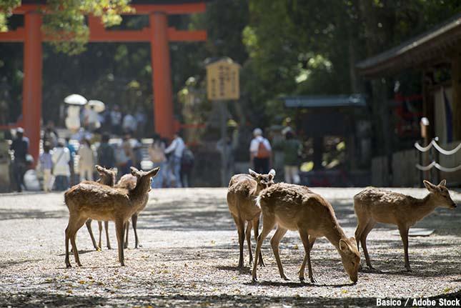 奈良公園の鹿が観光客を襲う?噛みつくほど凶暴になる原因とは何か