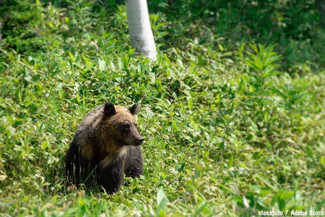 餌やりが原因?世界遺産の知床で起こるヒグマが凶暴化する問題とは
