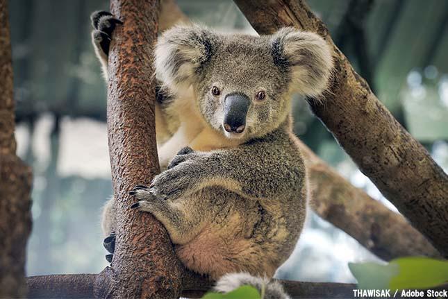 コアラの個体数が激減?温暖化の絶滅の恐れが【絶滅動物シリーズ】