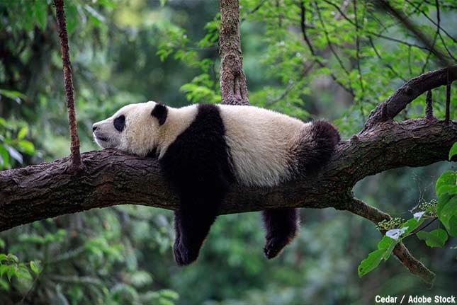 中国で真っ白なジャイアントパンダが初めて撮影された?アルビノとは何か