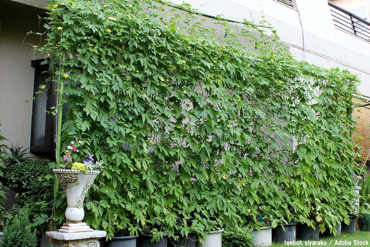 グリーンカーテンとは?緑を使ったエコ効果や作り方をご紹介