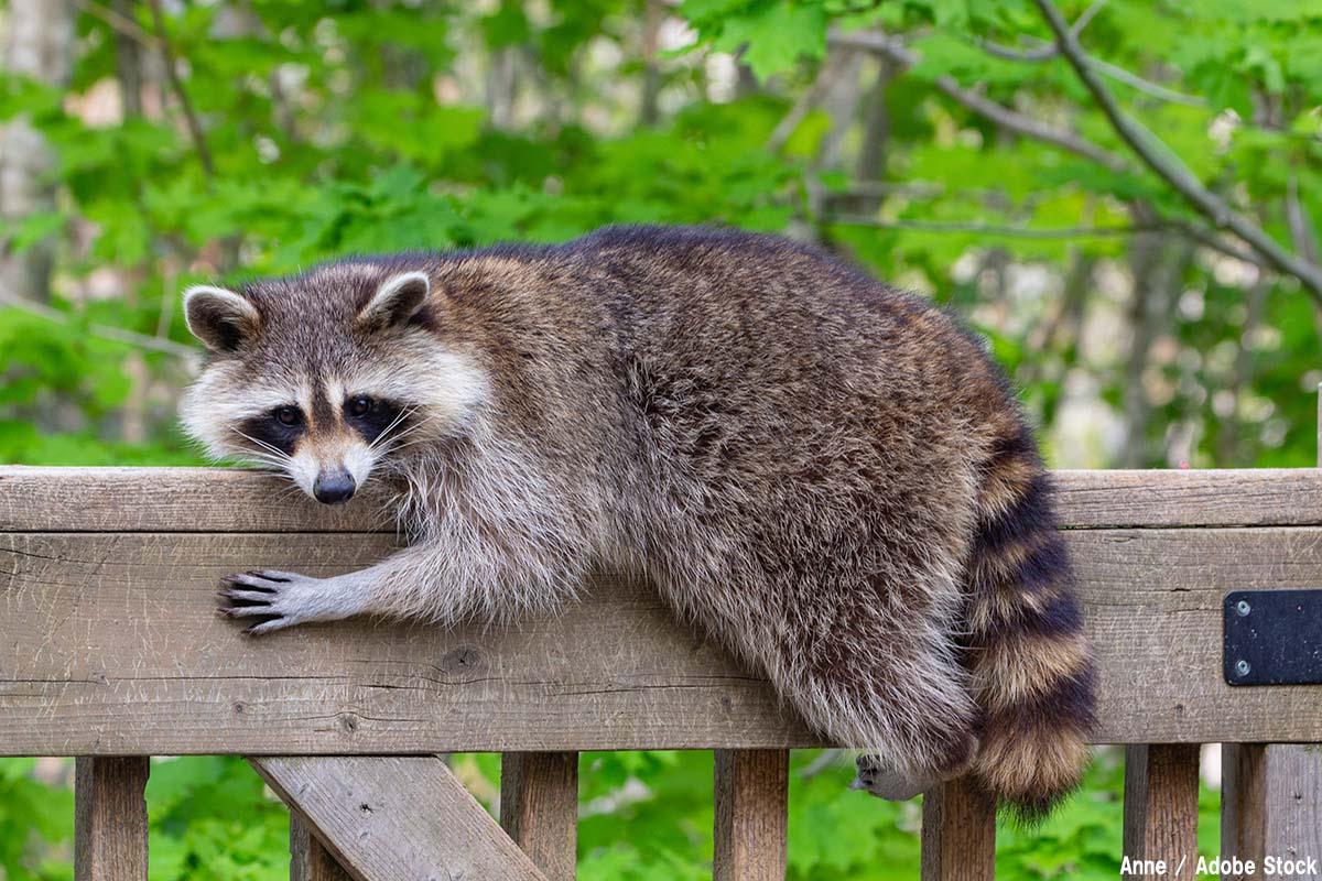 危険な外来種として知られるアライグマ