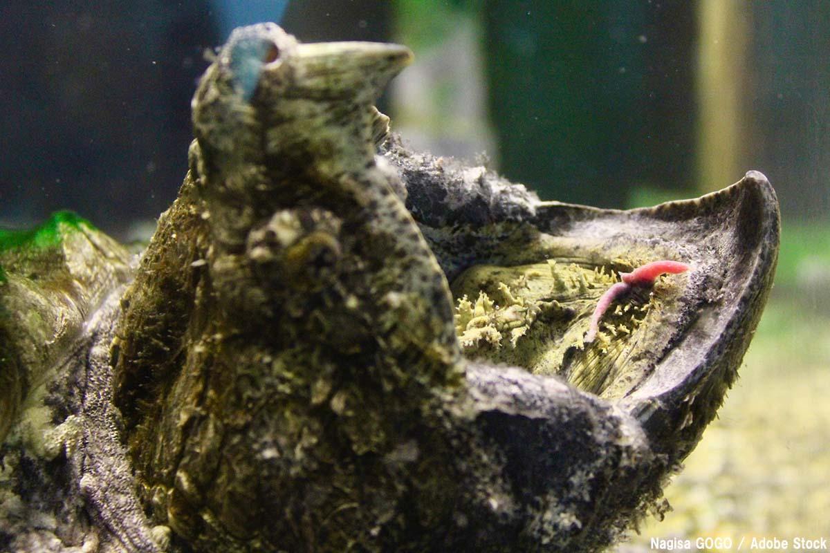 危険な外来種として知られるカミツキガメ