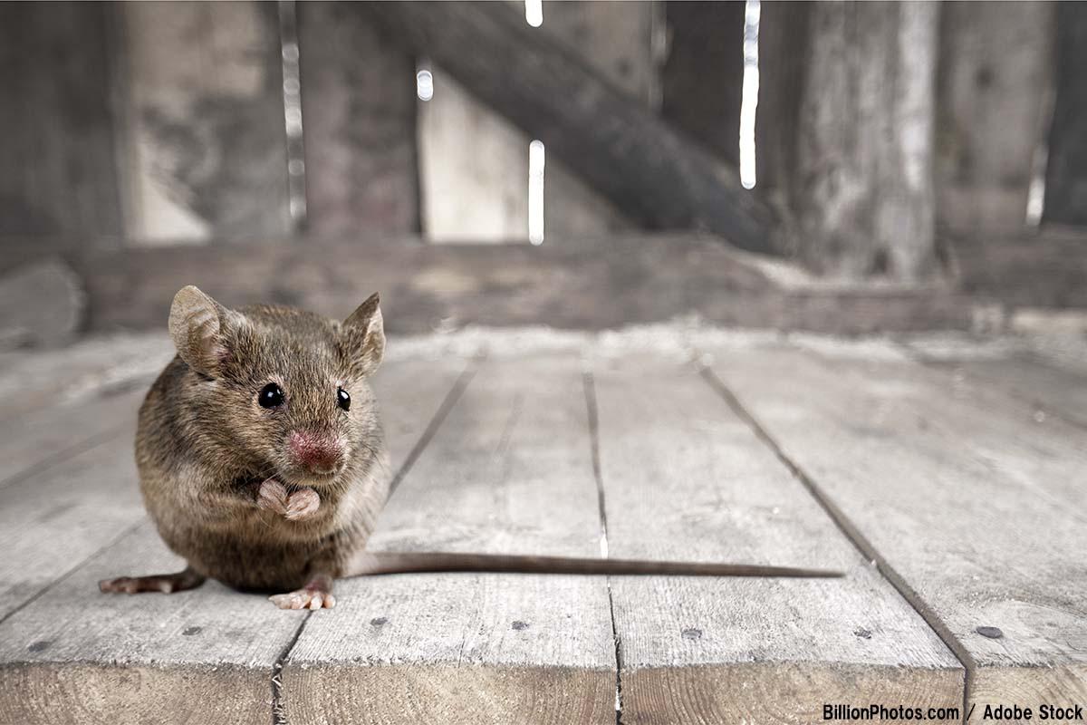 【意外と恐ろしい】ネズミが発生!危険性や対処法をご紹介
