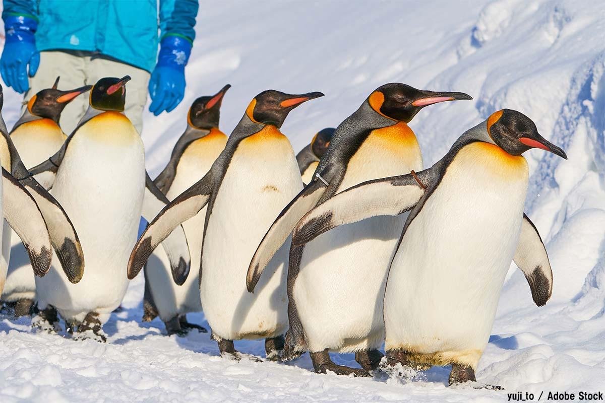 ペンギンのうんちに温室効果ガスが?オウサマペンギンと環境問題