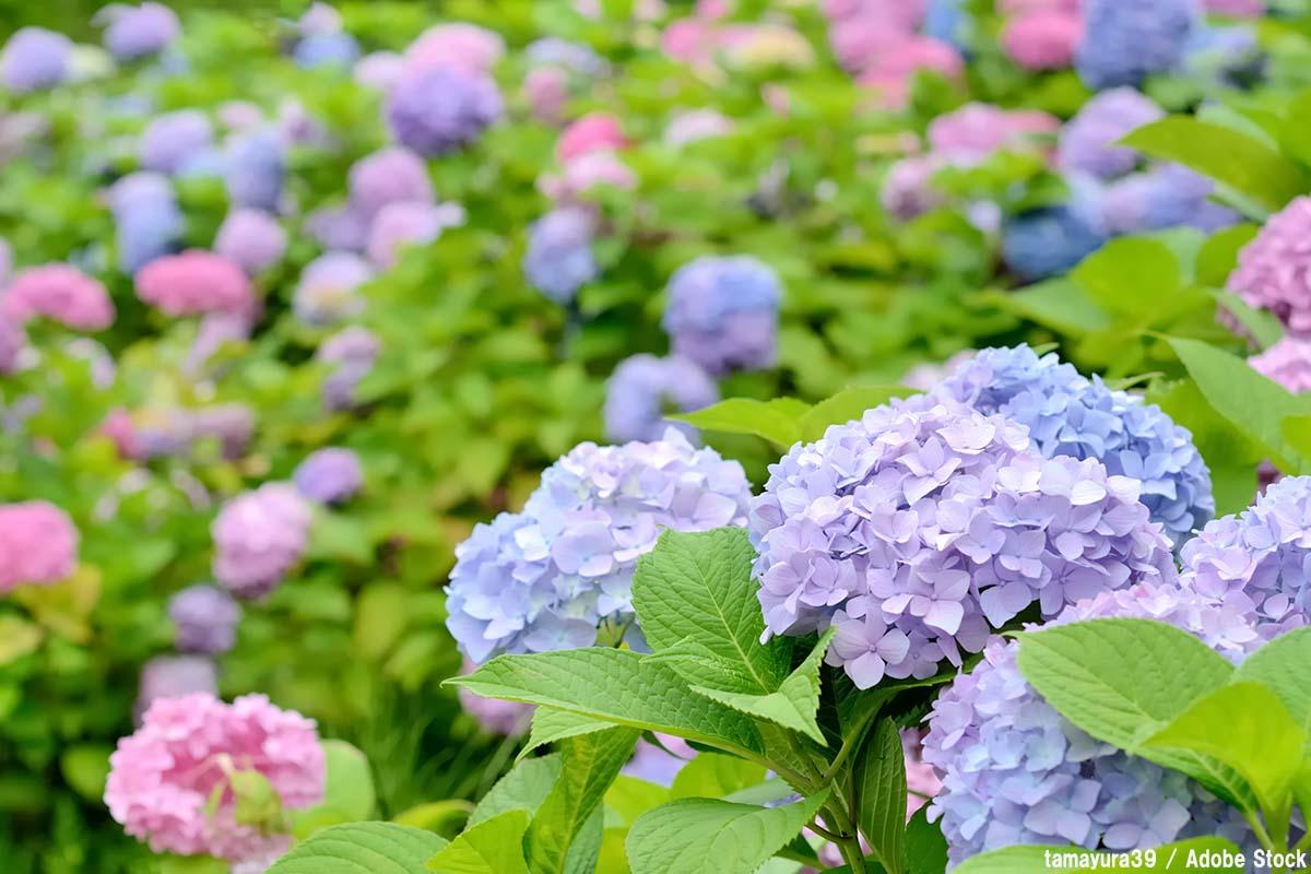 アジサイの色は青が一般的?土壌による変化と名所をご紹介