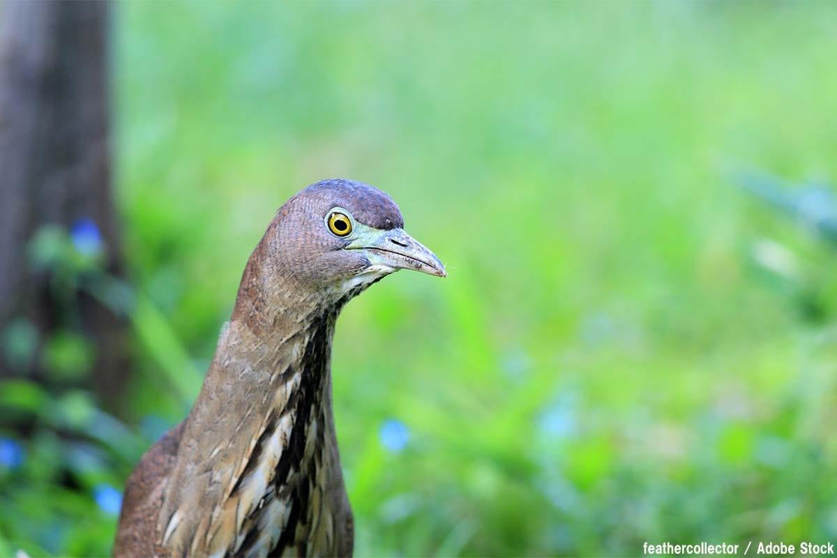 ミゾゴイとは?新宿に現れた珍鳥の正体【絶滅動物シリーズ】
