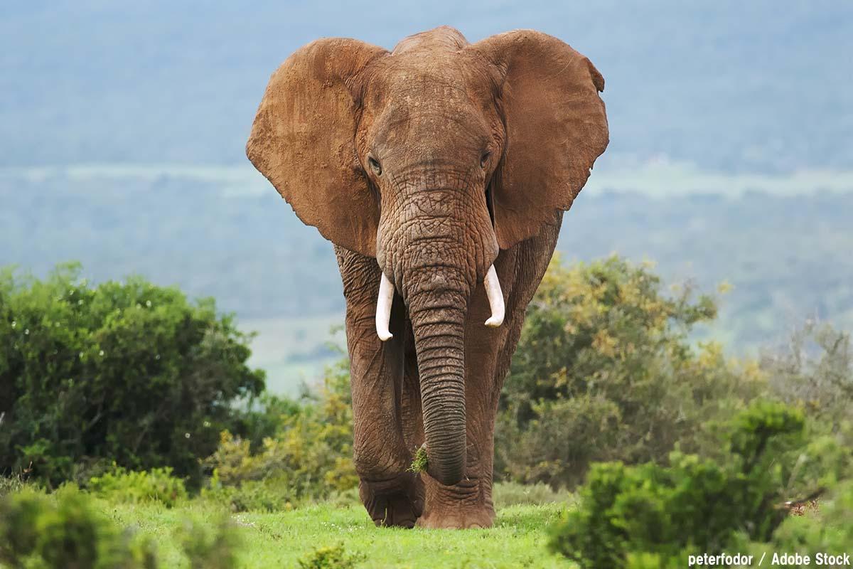 最強の動物候補「アフリカゾウ」