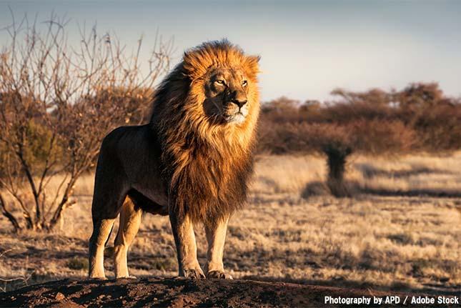 百獣の王ライオンは人によって激減していた【絶滅動物シリーズ】
