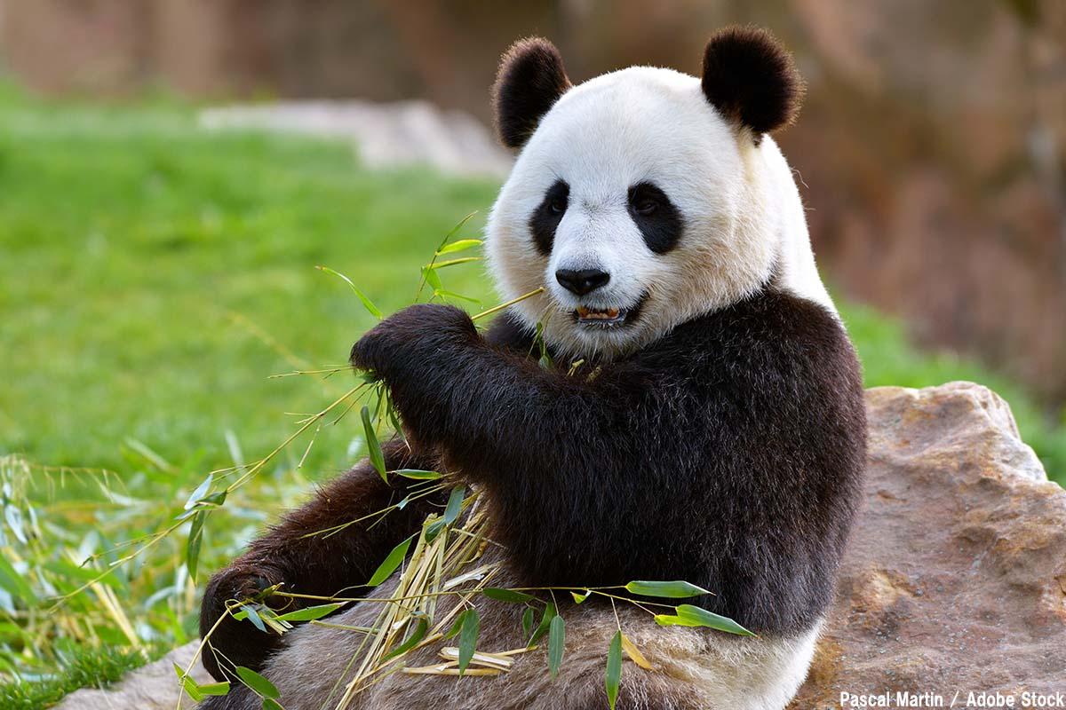 パンダ保護で他の肉食動物が犠牲に?【絶滅動物シリーズ】