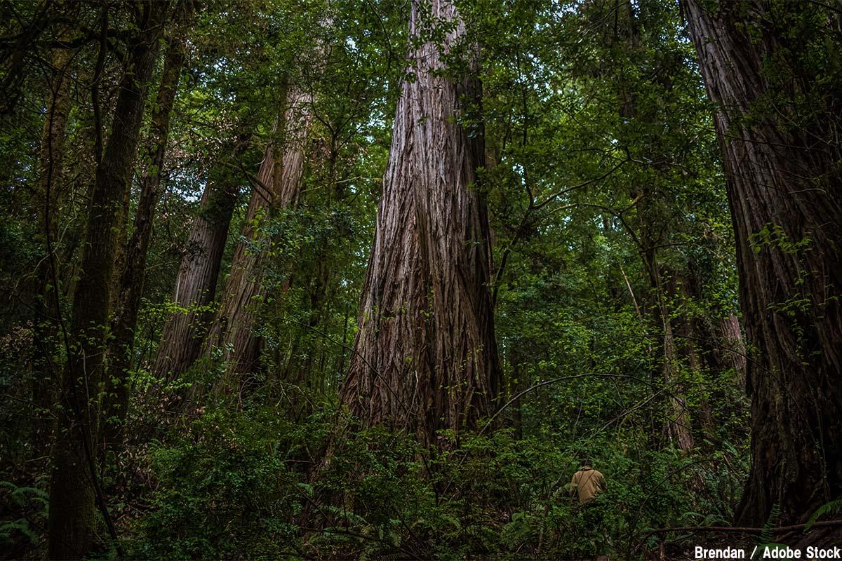世界で一番高い木・大きい木は?ちょっと不思議な巨木たち