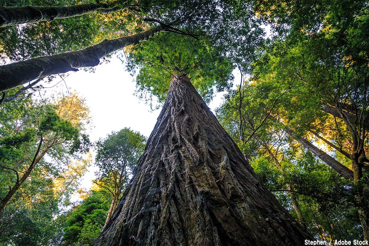 世界で一番高い木「ハイペリオン」