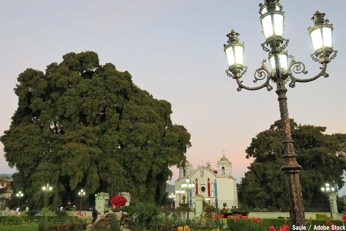 世界で一番太い木「トゥーレの木」