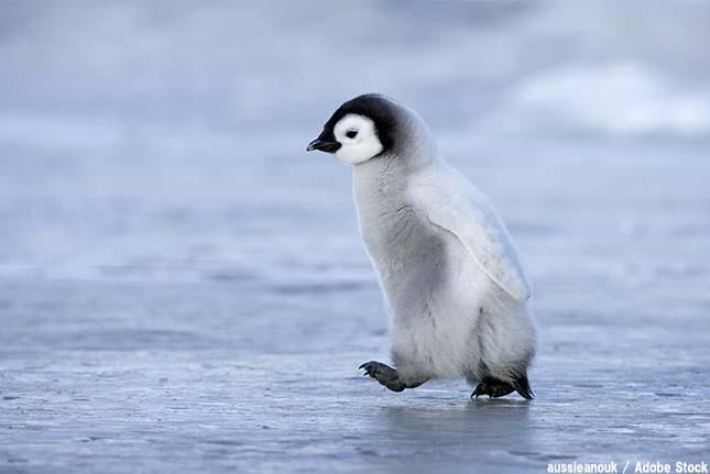 北極にいた唯一のペンギン!オオウミガラスとは【絶滅動物シリーズ】
