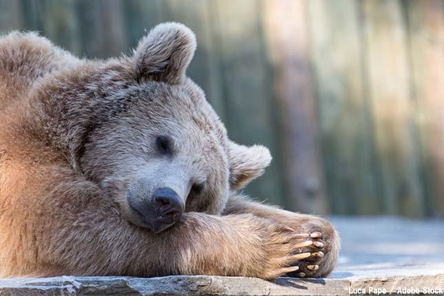 クマが冬眠できずトラブルに!原因は地球温暖化か?