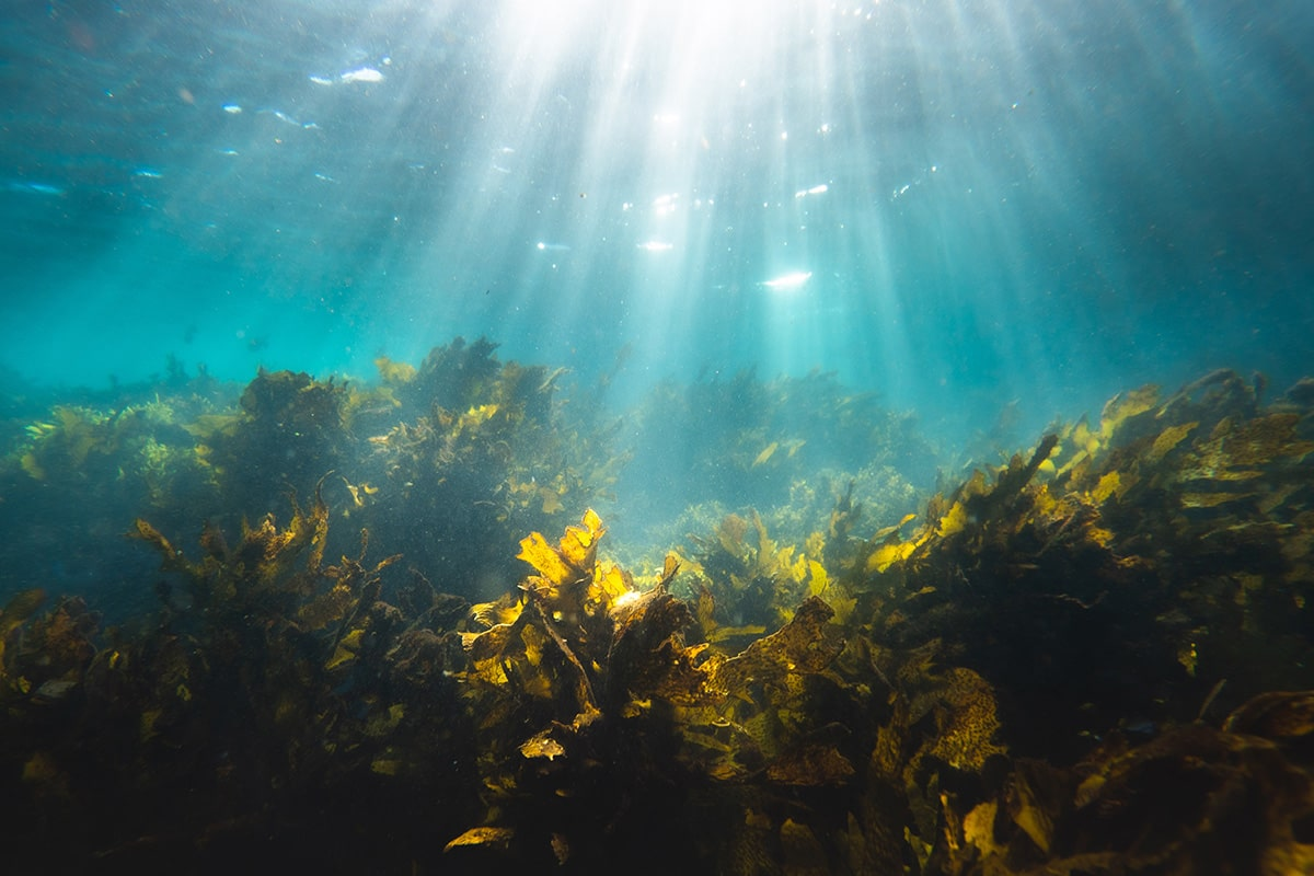 藻場とは?海底に広がる森林が生態系にもたらす影響